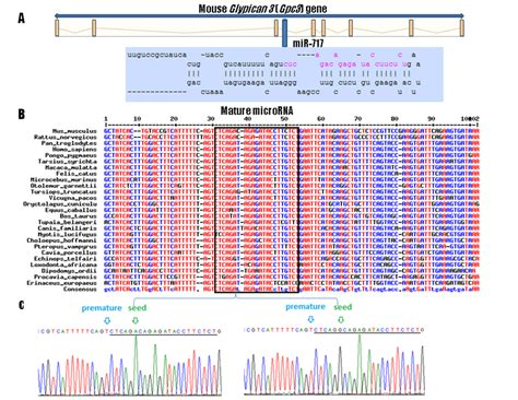 The Glypican 3-Hosted Murine Mir717 Gene: Sequence