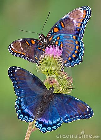 Red-spotted Purple Butterflies Royalty Free Stock